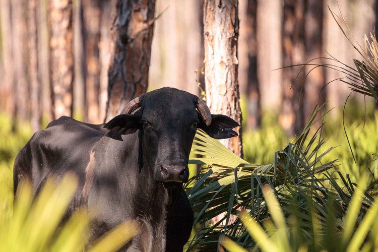 Herd of cattle travel through a marsh in Louisiana and graze as they go. BRAHMAN Black Angus Bos Taurus Bos Taurus Indicus Bull Farm Florida Cracker Cattle Livestock Marsh Animal Animal Themes Beef Cattle Cattle Cattlefarm Cow Day Farm Animal Mammal Nature No People Outdoors