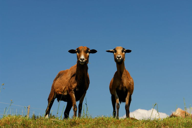 Goats standing on field against clear sky
