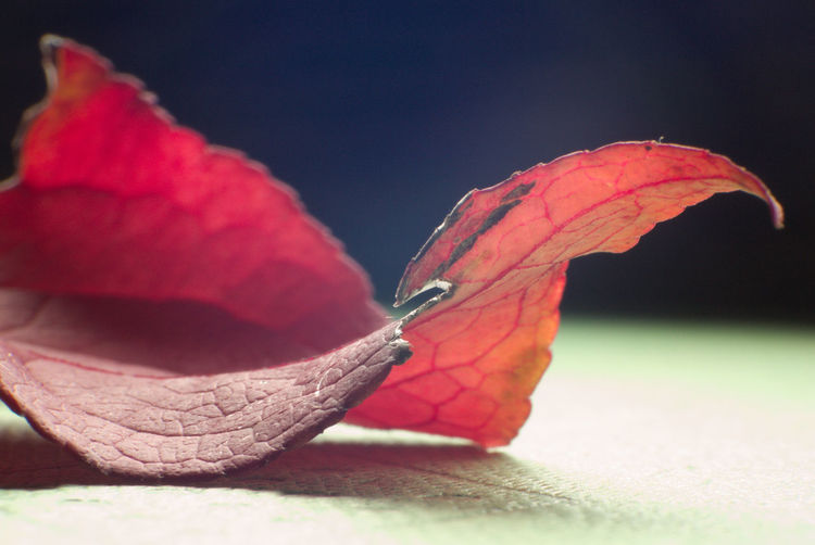 Leaf Photography Autumn Colors Red No People Indoors  Close-up Day Nature Autumn Colours Macro Nature Macro Photography Nature On Your Doorstep Details Of Nature Wilted Leave Faded But Still Beautiful Autumn Withered Beauty