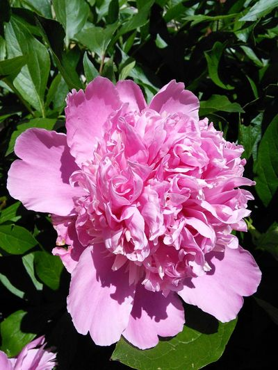 Spring Flowers Peony Flower Pink Flower Peony Bloom Peonie Bush They smell great!