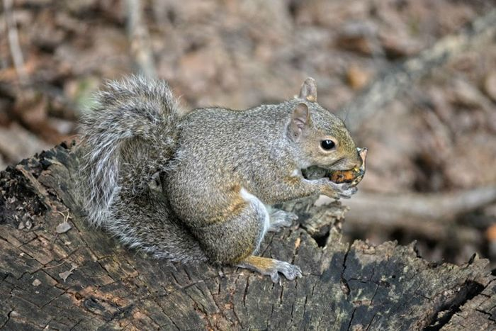 A Natural Friend Animal Behavior Animal Themes Animals In The Wild Beauty In Nature Brandywine Falls Critter Day Eating Focus On Foreground Forest Creatures Full Length Fuzzy Gray Squirrel Grey Squirrel Holding Mammal Nature No People Ohio One Animal Outdoors Side View Squirrel Wildlife Zoology