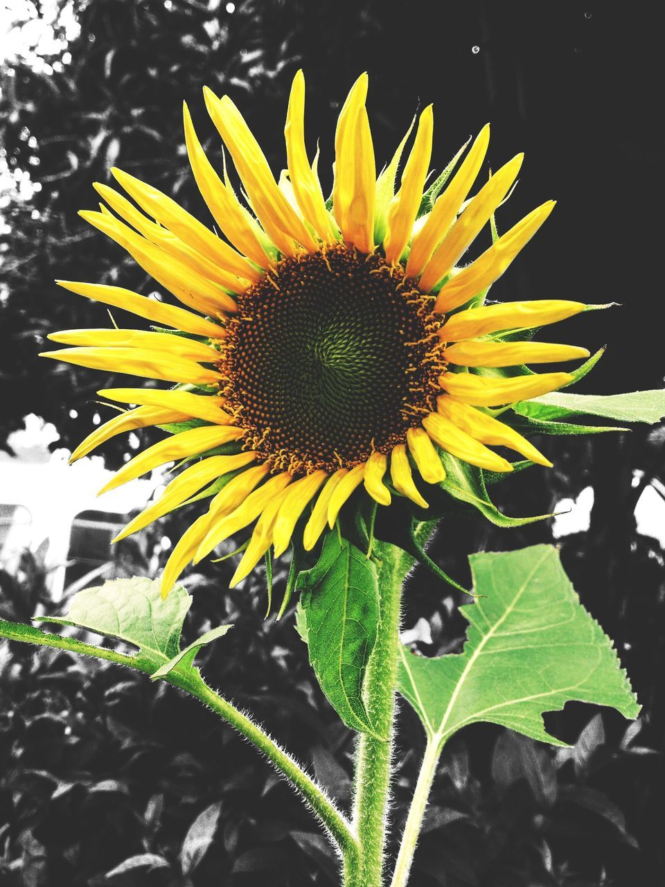 flower, yellow, fragility, petal, freshness, nature, beauty in nature, sunflower, growth, flower head, pollen, plant, close-up, no people, outdoors, blooming, leaf, day