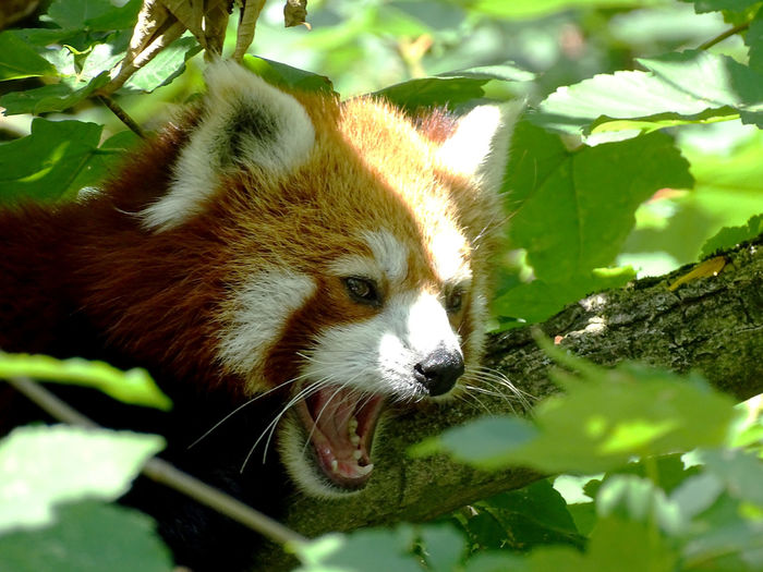 Close-up of a red panda on tree