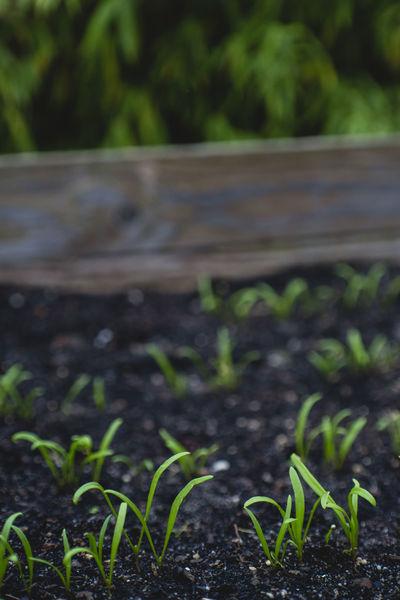 Breeding Seed Urban Gardening Vegetables & Fruits Vegetarian Food Healthy Eating Healthy Food Healthy Lifestyle Home Gardening Lifestyles Raised Bed Garden Self Sufficiency Self-sufficiency Vegetable