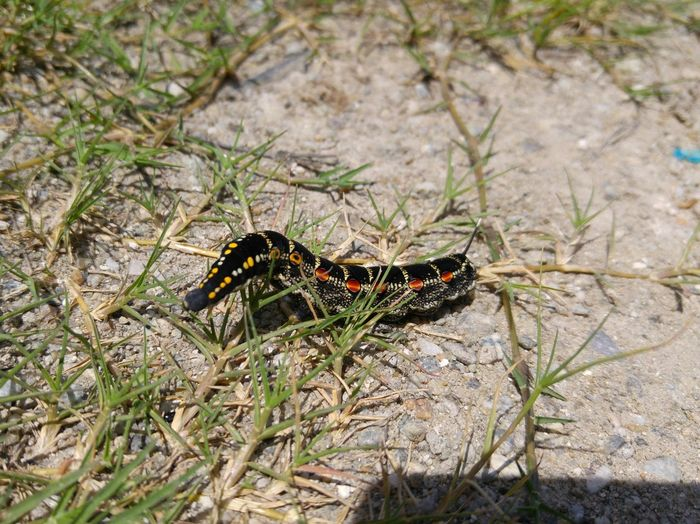 This Caterpillar was running into the bushes. The Purist (no Edit, No Filter)
