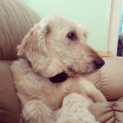 Iwona sitting all lady like. What a Beautiful Labradoodle . Dog