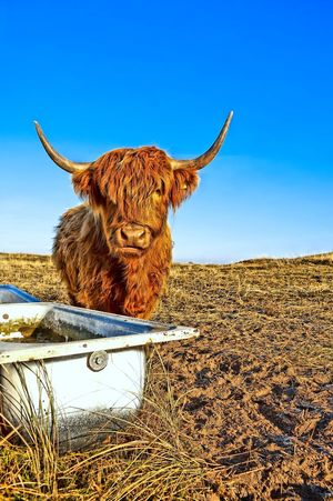 Galloway Cattle Agriculture Animal Body Part Animal Head  Animals Beef Blue Cattle Clear Sky Close-up Cow Day Domestic Animals Ecologically Farmer Galloway Health Food Highland Cattle Landscape Livestock Mammal Nature No People Outdoors Rural Scene Sky