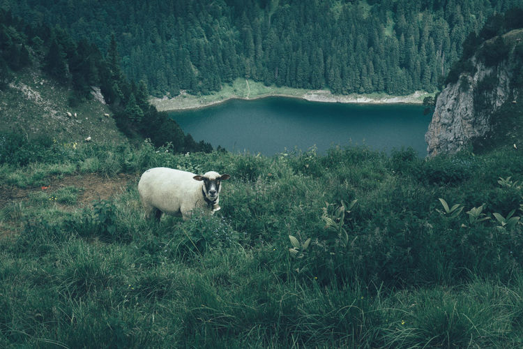 Sheep grazing on field by lake