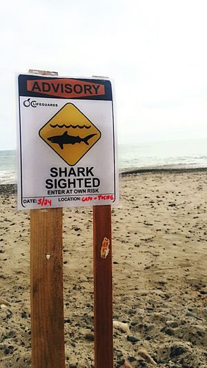 Juvenile Great White Sharks Spotted of the Coast of San Clemente : Air Jaws: Lifegaurd Problems : Food Chain :