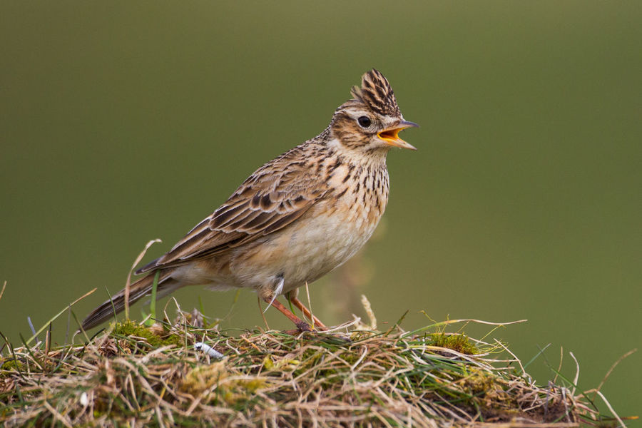 Skylark Alauda Arvensis Animal Wildlife Animals In The Wild Bird Close-up Day Nature No People One Animal Outdoors Skylark