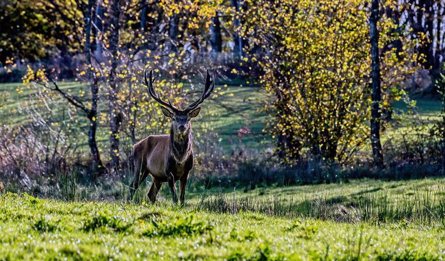 stag wary