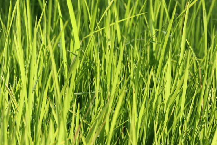 Leaf Green Nature Agriculture Backgrounds Beauty In Nature Cereal Plant Close-up Crop  Day Ear Of Wheat Field Freshness Full Frame Grass Green Color Green Leaf, Fresh And Beautiful Growth Leaf Green Color Plant Nature Leafgreen Nature Plant Rice - Cereal Plant Rice Paddy Tranquility Wheat