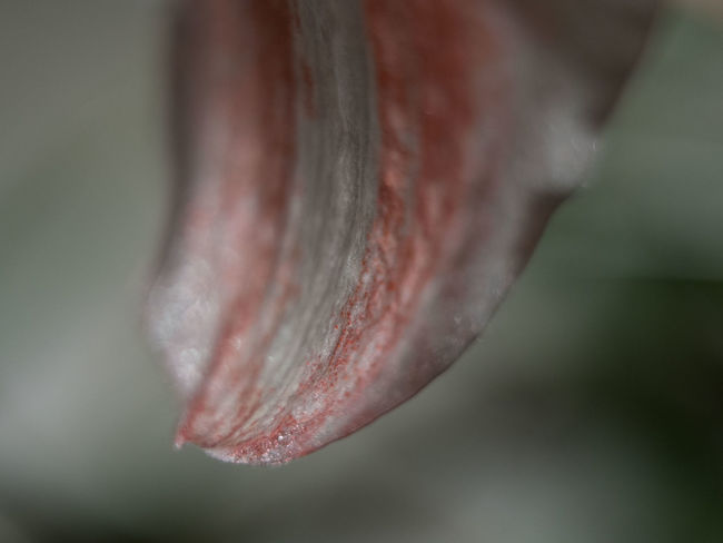 Macro Beauty of a single Amaryllis leaf Nature Nature_collection EyeEm Nature Lover Botanical Flower Flower Collection Amazing Amaryllis Macro Macro_collection Macro_flower Close-up Belladonna Lily Leaf Color Red Redhead