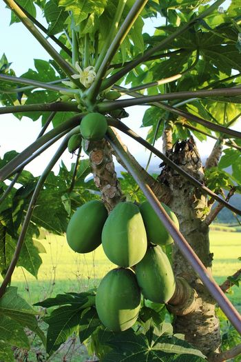 Farm Life EyeEm Nature Lover Green Leaves PawPaw Tropical Australia Whereilive Tropical Fruits Nature Followme