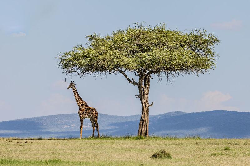 Giraffe standing by tree on land against sky