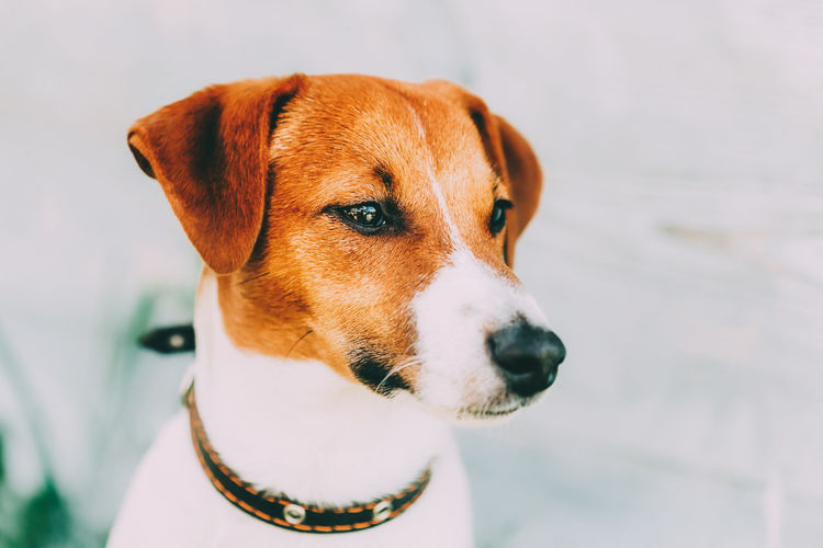 White And Brown Dog Jack Russell Terrier On Light Wooden Background Outdoors. Toned Instant Photo Animal Breed Brown Cute Dog Doggy Face Friend Funny Hair Jack Pedigree Pet Portrait Purebred Small Terrier Whelp White Young Russell Wooden Toned