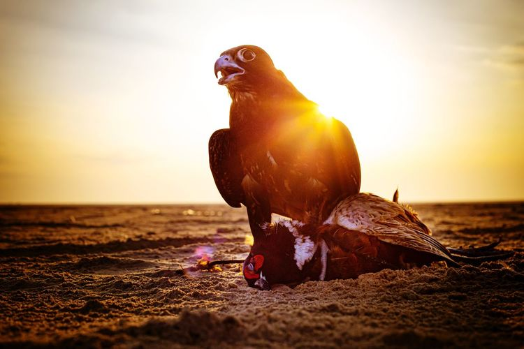 Falcon after catching another bird at the sunset
