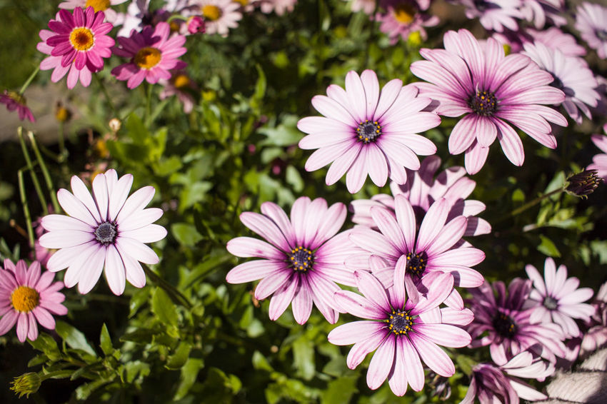 Beauty In Nature Blooming Close-up Day Flower Flower Head Fragility Freshness Growth Nature No People Osteospermum Outdoors Petal Pink Color Plant Purple