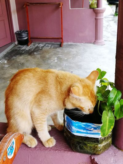 thirsty EyeEm Selects Pets Dog Domestic Cat Toilet Bowl Cat Whisker Kitten At Home Stray Animal Adult Animal Home Ginger Cat Domestic Animals Pet Bed Tabby Yellow Eyes Carnivora Pet Collar