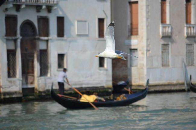 Seagull Venice Gondoliere Bird Gabbiano Venezia Traveling Travel Photography Nature Memories