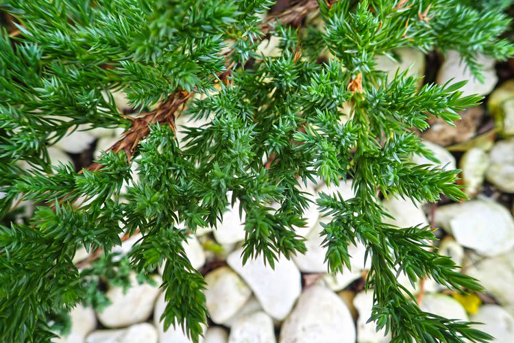 Tree Green Color Christmas christmas tree Plant Holiday Close-up No People Branch Nature Celebration Decoration Pine Tree Focus On Foreground Coniferous Tree Day Christmas Decoration Needle - Plant Part Leaf Fir Tree Outdoors Christmas Ornament