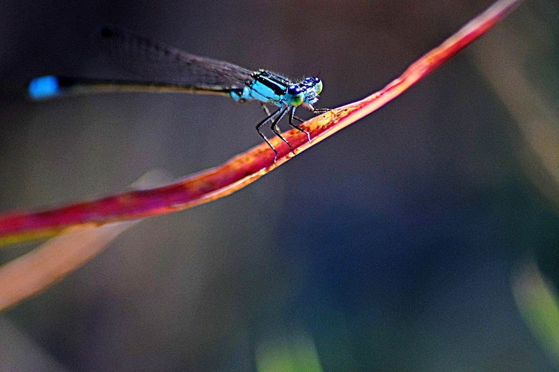 BEA-utiful Blue Eyeemmacro Eyeemnaturelover Vivid Insect Fragile WeekOnEyeEm Closeupphotography Macro Blue Insect One Animal Animal Themes Focus On Foreground Animals In The Wild Day Close-up Outdoors No People Multi Colored Nature Damselfly