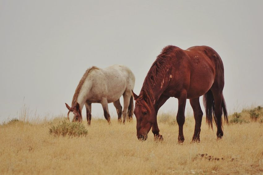 Wild Wyoming horses Horses Sweetwater County Environment Eating Horse Wyoming Wildlife Wyoming Wyoming Landscape Mammal Animal Animal Themes Group Of Animals Vertebrate Field Land Grazing Nature Grass No People Plant Animal Wildlife Landscape Day