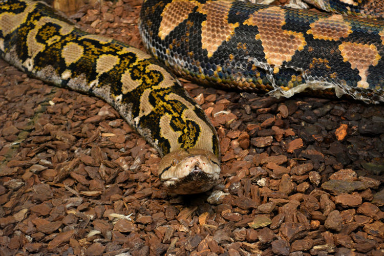 Close-up of burmese python on dry grass