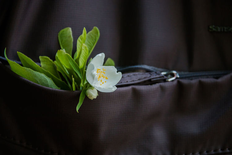a sprig of Jasmine in the pocket of a backpack Plant Flower Flowering Plant Freshness Beauty In Nature Close-up Nature Growth Indoors  No People Fragility Selective Focus Green Color Flower Head Vulnerability  Inflorescence Leaf Plant Part Petal