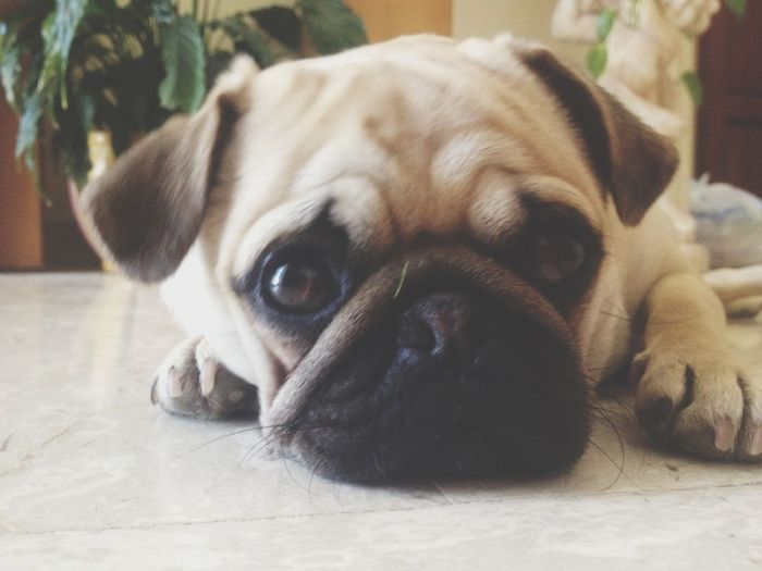 Lazy Pugs