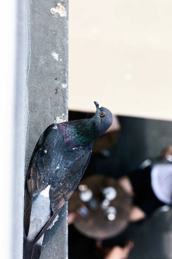 sh*tting in your coffee Coffee Cup ShitHappens Pigeon City Life City View  Breakfast Sunny Day Watching People Watching You Watching Me Bird Photography Birds_collection Bird Perching Close-up #FREIHEITBERLIN