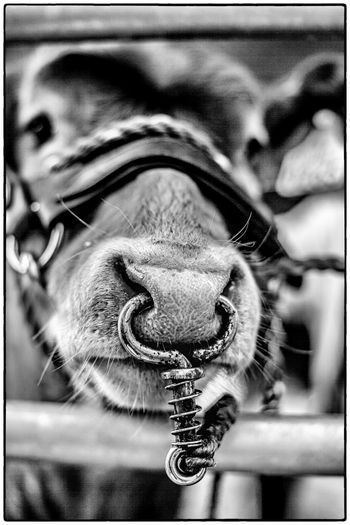 Agricultural show in Swinford, Ireland. August 2017 Blackandwhite Ireland Agriculture Cow One Animal Close-up Animal Themes No People Animals In The Wild Selective Focus Day