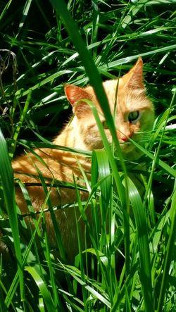 Cats Of EyeEm Cat Furfamily Animal Photography Orange Tabby Cat Jungle Cat Outdoor Photography Green Grass