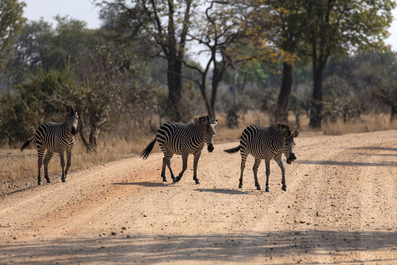 View of zebra walking