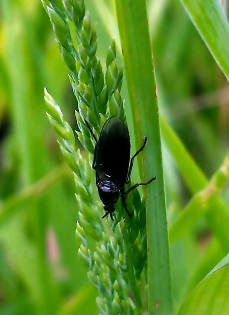 Black Insect Natur Naturesbeauty Nature_collection EyeEm Germany Nature Photography Doğa Eyeem Turkey EyeEm Gallery Nature Gallery Nature EyeEm Nature Lover Animal Photography Animals Insect_perfection EyeEm Masterclass Wildlife Photography EyeEm Naturephotography Wildlife & Nature Insect Photo Insects Collection Insect Collection Insect Photography Insects