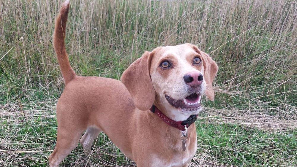 Beagle Beagles  Collar Dog Dogs Puppy