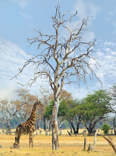 Giraffe standing beneath a bare tree with a cloudy sky Tree Mammal Animal Animal Themes Sky Giraffe Animals In The Wild Nature Animal Wildlife Landscape No People Safari Environment Day Cloud - Sky Bare Tree Outdoors Hwange National Park Wildlife & Nature Animals In The Wild