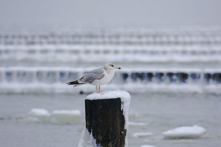 Animal Themes Animal Wildlife Animals In The Wild Bird Close-up Cold Temperature Day Focus On Foreground Nature No People One Animal Outdoors Perching Sea Seagull Water Winter Wooden Post