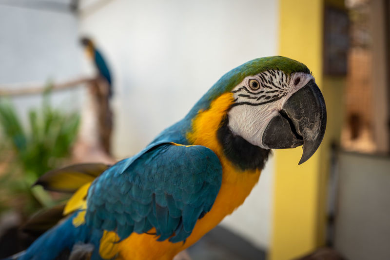Langkawi Animal Themes Bird Animal Animal Wildlife Vertebrate Parrot Animals In The Wild Macaw Focus On Foreground Gold And Blue Macaw One Animal Close-up No People Beak Day Perching Yellow Animal Body Part Nature Multi Colored Animal Head