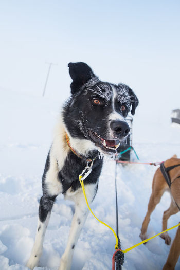 A beautiful portrait of a sled dog, alsakan husky during the sled dog race in Norway. Closeup of a happy sled pulling dog. Mammal Domestic Domestic Animals Pets One Animal Vertebrate Canine Dog Sled Dog Husky Portrait