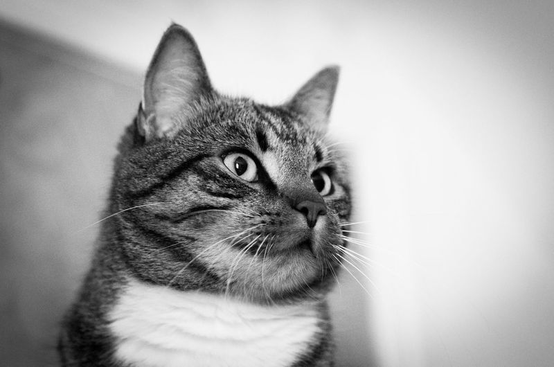 Sigge AdoptDontShop Alertness Black & White Black And White Black And White Photography Blackandwhite Cat Cats Domestic Cat Feline Looking Out Looking Up Pets Staring Tabby Tabby Cat TabbyCat Whisker Cats Of EyeEm