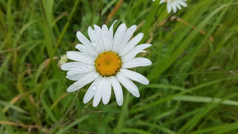 flower nature flower head summer beauty in nature living organism no people freshness growth beauty day outdoors Russia summrtime Wildflower green yellow white Chamomile Chamomiles