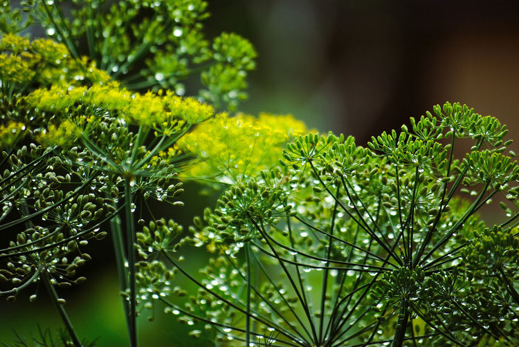 Dill Beauty In Nature Close-up Day Dew Focus On Foreground Freshness Green Color Growth Leaf Leaves Nature No People Outdoors Plant Plant Part RainDrop Selective Focus Sunlight Tranquility Tree Vulnerability  Water