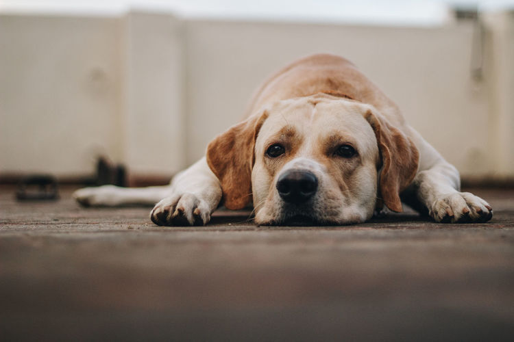Close-up of dog resting on floor