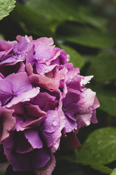 wet hydrangea inflorescence Flowering Plant Flower Plant Petal Beauty In Nature Vulnerability  Fragility Freshness Inflorescence Flower Head Growth Close-up Pink Color Wet Drop Water Focus On Foreground Nature Day No People Outdoors Purple Dew Softness RainDrop