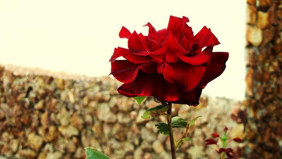 Flower power the Rose... EyeEm Flowers Collection Red Rose EyeEm Gallery EyeEm Nature Lover EyeEm Best Edits EyeEm Flower