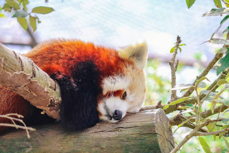 The Red Panda EyeEm Selects Tree Branch Leaf Close-up Sky Plant Red Panda Endangered Species Threatened Species Panda - Animal Panda Bamboo - Plant Bamboo Grove My Best Photo