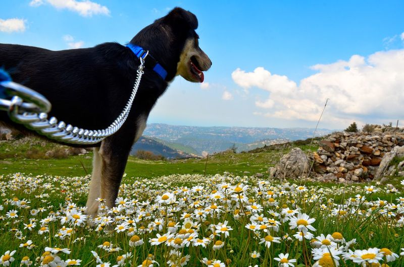 Going on a hike is this dog's lucky day. Let him lead the way to heaven on earth! Dog Dogs Of EyeEm Dog Walking Perspective Personal Perspective Nature The Great Outdoors - 2016 EyeEm Awards Beauty In Nature Outdoor Photography The Following Field Fieldscape Mountains Mountain View Grass Flower Blossom Blooming Leash Hiking Adventure Adventure Buddies Gazing Tranquility Looking Away