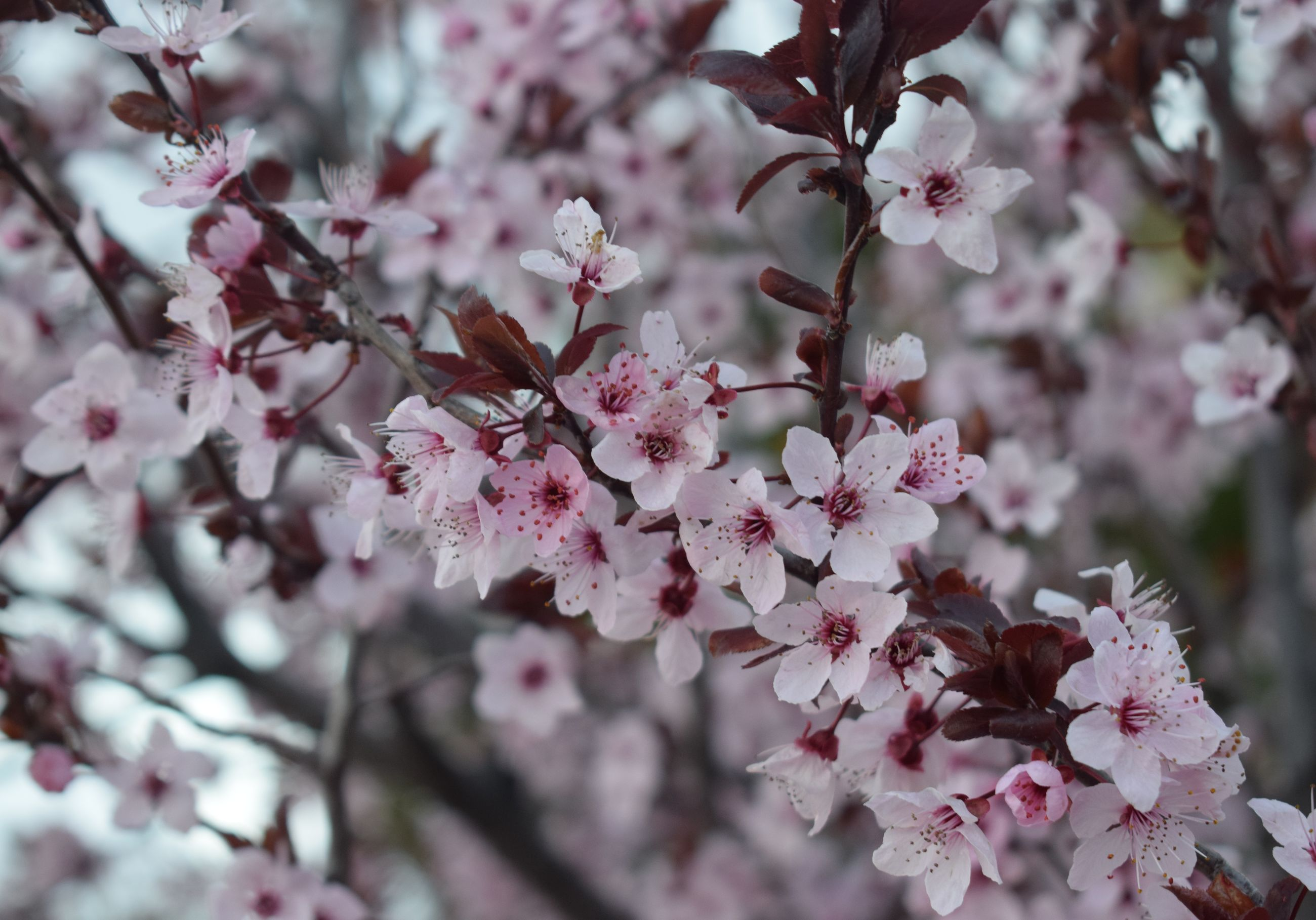 flowering plant, flower, freshness, plant, fragility, vulnerability, growth, beauty in nature, springtime, blossom, tree, close-up, pink color, nature, branch, petal, day, no people, cherry blossom, selective focus, flower head, outdoors, cherry tree, spring, bunch of flowers
