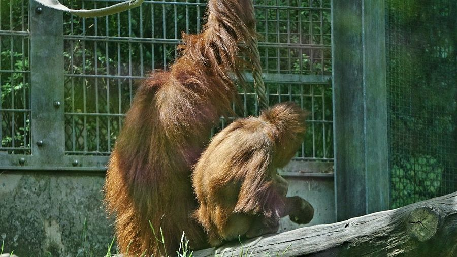 Ein schöner Rücken kann auch entzücken 🐒🐵😉 Nice Atmosphere Taking Photos Zoo Animals  Animal Body Part Monkey Animal Themes Orangutan Close-up Tadaa Community Getting Inspired Hello World Funny Moments Check This Out EyeEm Diversity Zoobesuch Zoo Animals  Outdoors Day No People